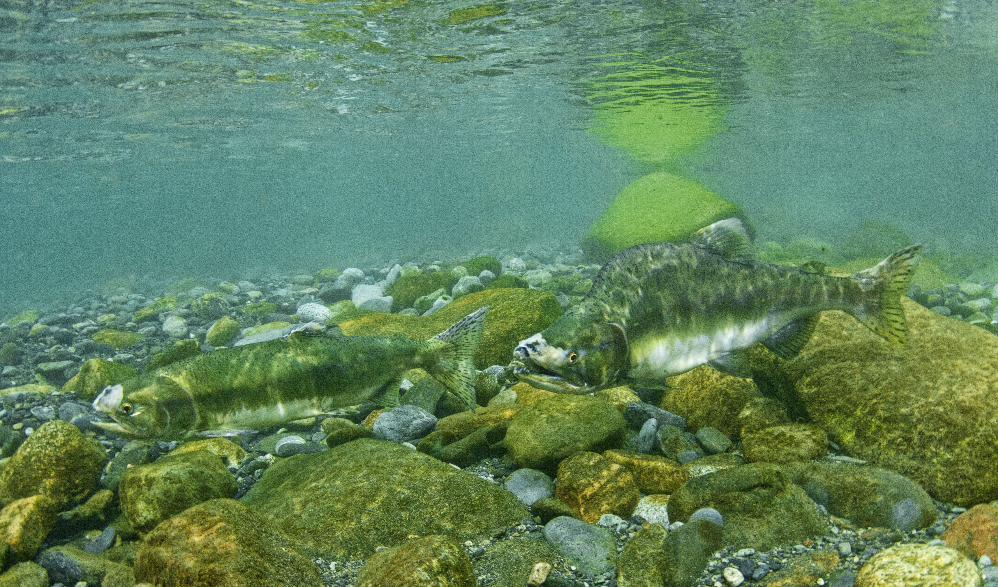 2-pink-salmon-2.jpg