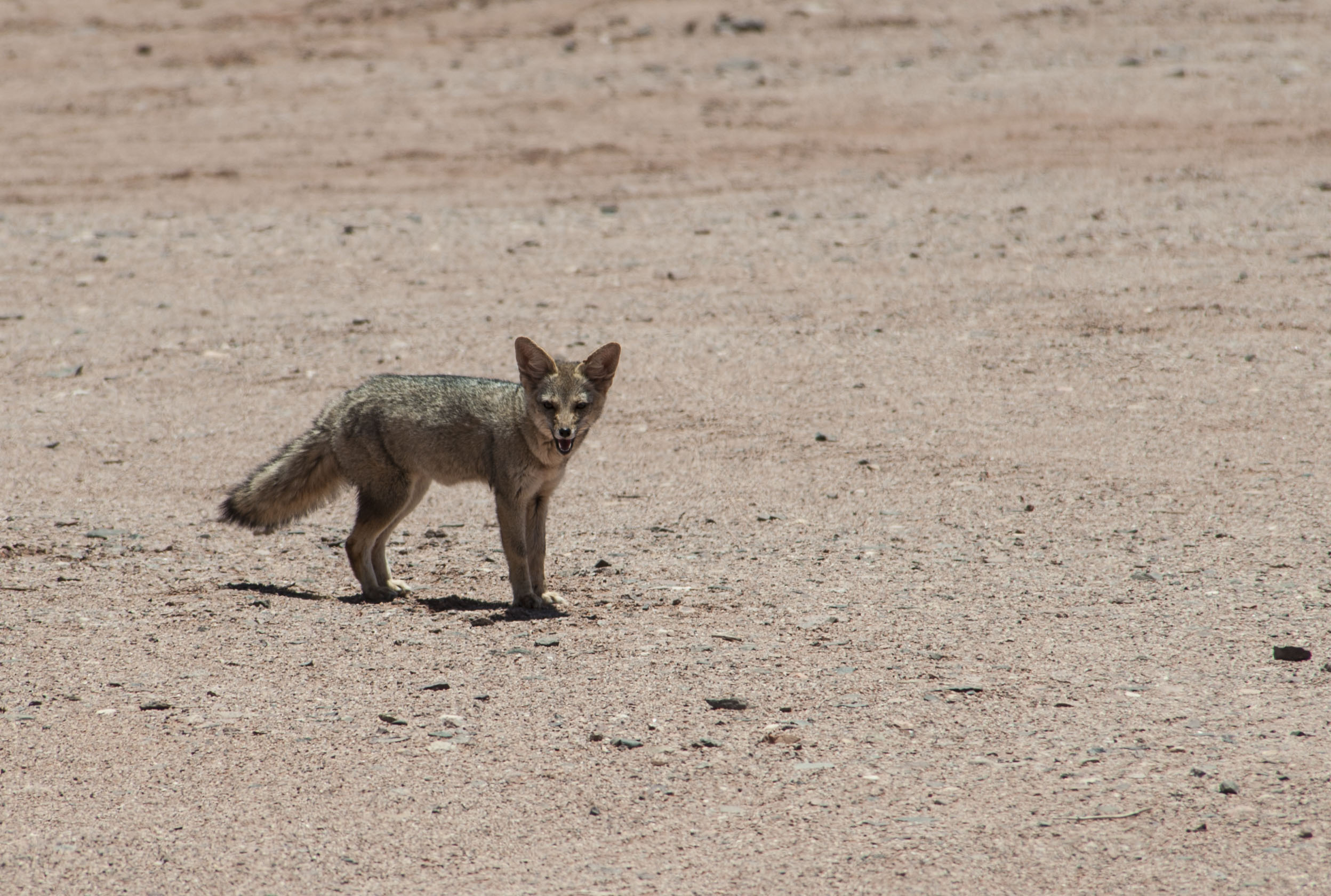 Foxes in the desert - photo#21