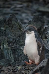 Baby Adelie Penguin