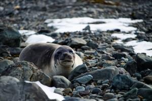 Baby Elelphant seal