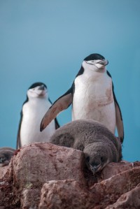 Chinstrap penguin chick