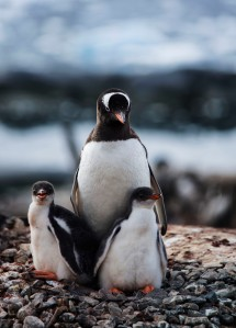Gentoo Penguin and Chicks
