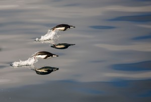 Leaping Penguins