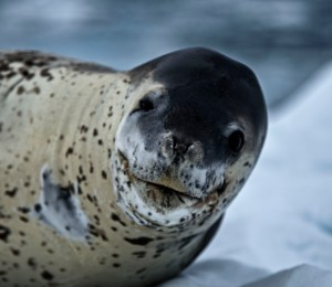 Leopard Seal face