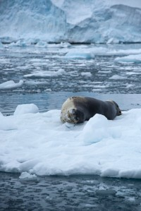 Leopard Seal on Ice 2