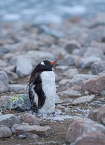 Molting Gentoo Penguin