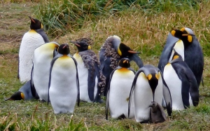 King Penguins with Chick