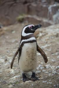 Adult Magellanic Penguin