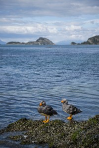 Ducks in Tierra del Fuego NP