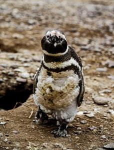 Molting Magellanic Penguin