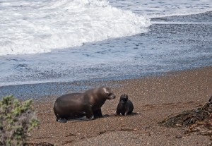 Sea lion and baby 2
