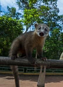 Baby Coati
