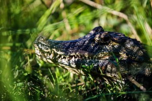 Caiman Close up