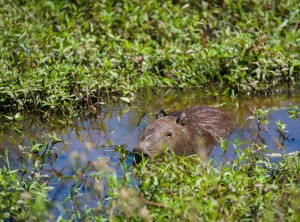 Capybara in the Water