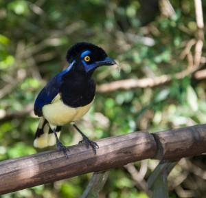 iguazu bird
