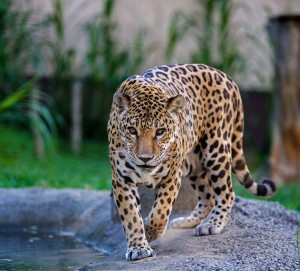 Jaguar at Pomerode Zoo