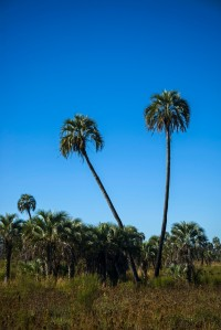 Palms in El Palmar