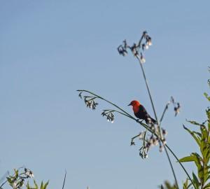 Red Bird in Ibera